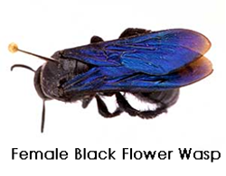 femaleblackwasp