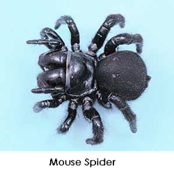 mousespider1